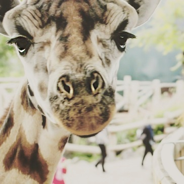 7. Giraffe